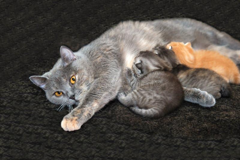 Gatitos que introducen del gato de la madre foto de archivo