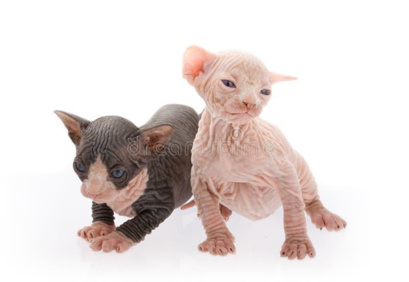 Gatitos recién nacidos de la esfinge fotografía de archivo libre de regalías