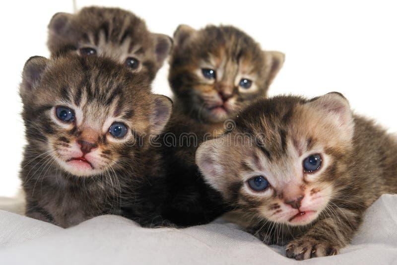 Gatitos recién nacidos en el fondo blanco fotografía de archivo