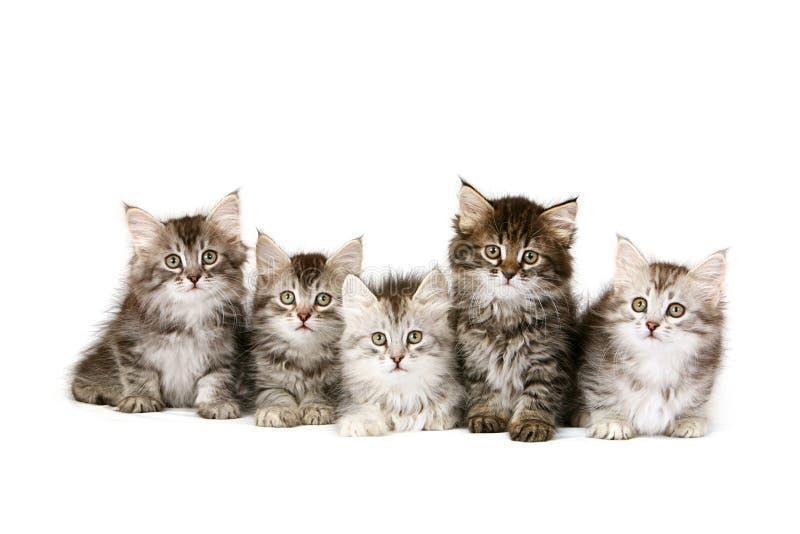 Gatitos siberianos imagenes de archivo