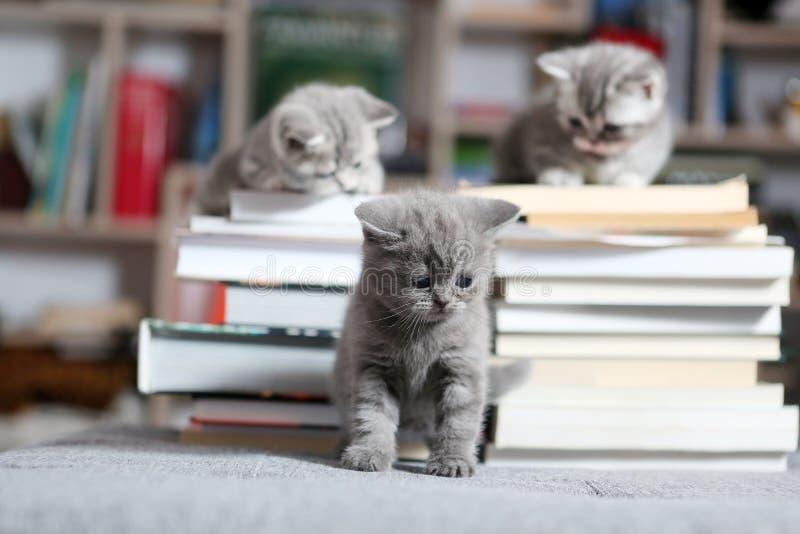 Gatitos y libros de británicos Shorthair fotografía de archivo