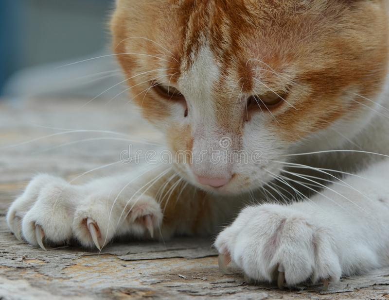 Download Gato imagen de archivo. Imagen de cómodo, felino, cierre - 42435797