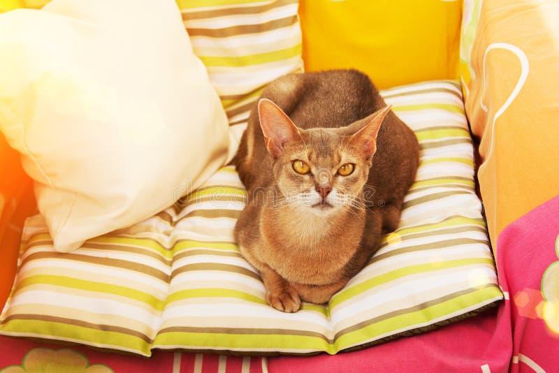 Gato abisinio Cierre encima del gato femenino abisinio azul del retrato, sentándose en la almohada colorida en luz del sol fotos de archivo