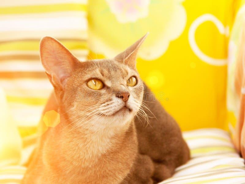 Gato abisinio Cierre encima del gato femenino abisinio azul del retrato, sentándose en la almohada colorida en luz del sol fotografía de archivo libre de regalías