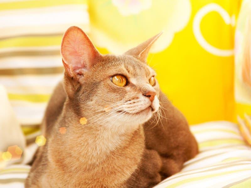 Gato abisinio Cierre encima del gato femenino abisinio azul del retrato, sentándose en la almohada colorida en luz del sol imágenes de archivo libres de regalías