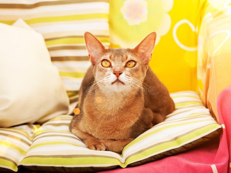 Gato abisinio Cierre encima del gato femenino abisinio azul del retrato, sentándose en la almohada colorida en luz del sol imagen de archivo libre de regalías