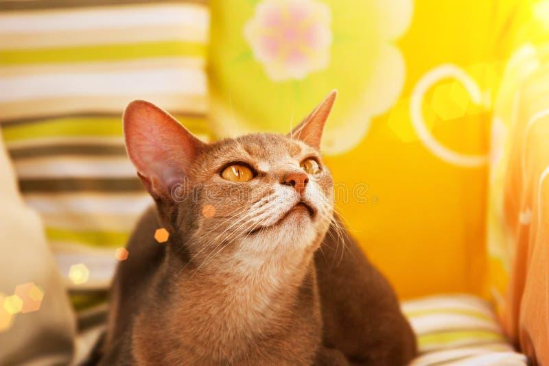 Gato abisinio Cierre encima del gato femenino abisinio azul del retrato, sentándose en la almohada colorida en luz del sol foto de archivo libre de regalías