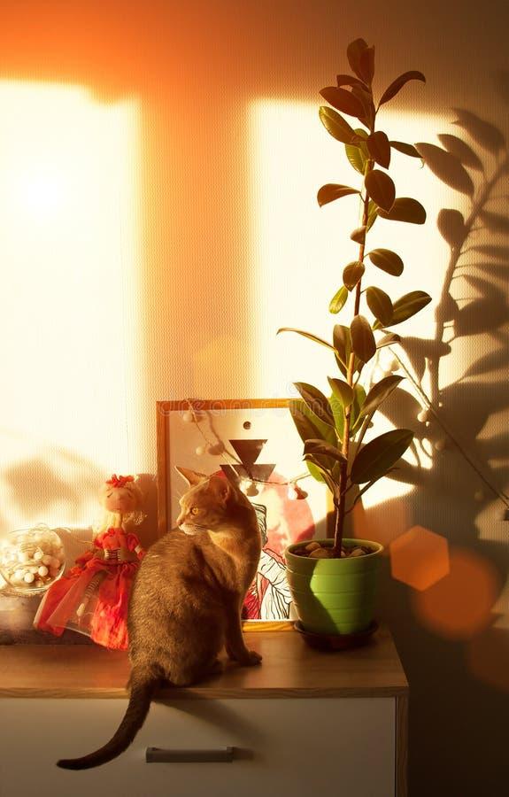 Gato abisinio en la ventana Cierre encima del gato femenino abisinio azul del retrato, sentándose en el pecho de cajones fotos de archivo