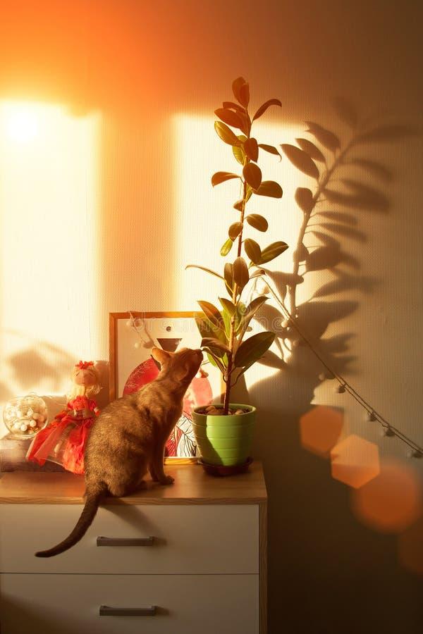 Gato abisinio en la ventana Cierre encima del gato femenino abisinio azul del retrato, sentándose en el pecho de cajones foto de archivo libre de regalías