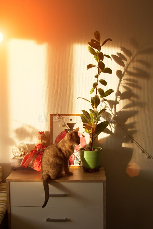 Gato abisinio en la ventana Cierre encima del gato femenino abisinio azul del retrato, sentándose en el pecho de cajones fotos de archivo libres de regalías