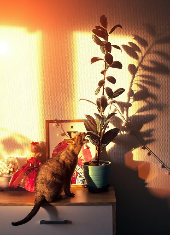 Gato abisinio en la ventana Cierre encima del gato femenino abisinio azul del retrato, sentándose en el pecho de cajones fotografía de archivo