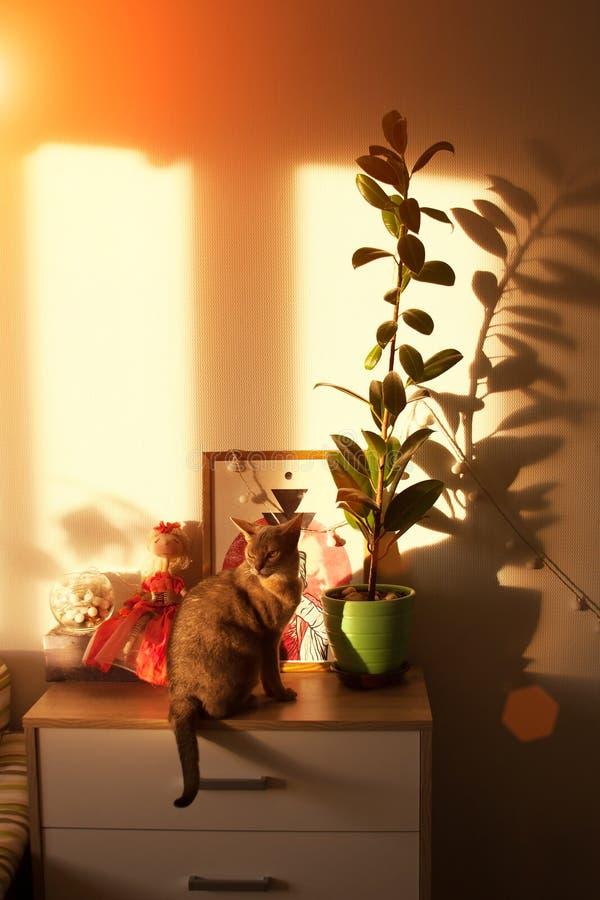 Gato abisinio en la ventana Cierre encima del gato femenino abisinio azul del retrato, sentándose en el pecho de cajones imagenes de archivo