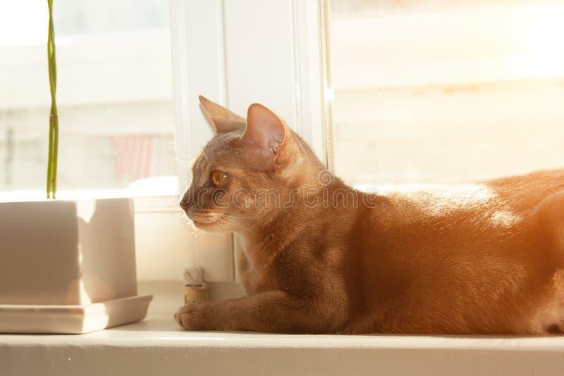 Gato abisinio en la ventana Retrato ascendente cercano del gato femenino abisinio azul, sentándose en alféizar foto de archivo libre de regalías