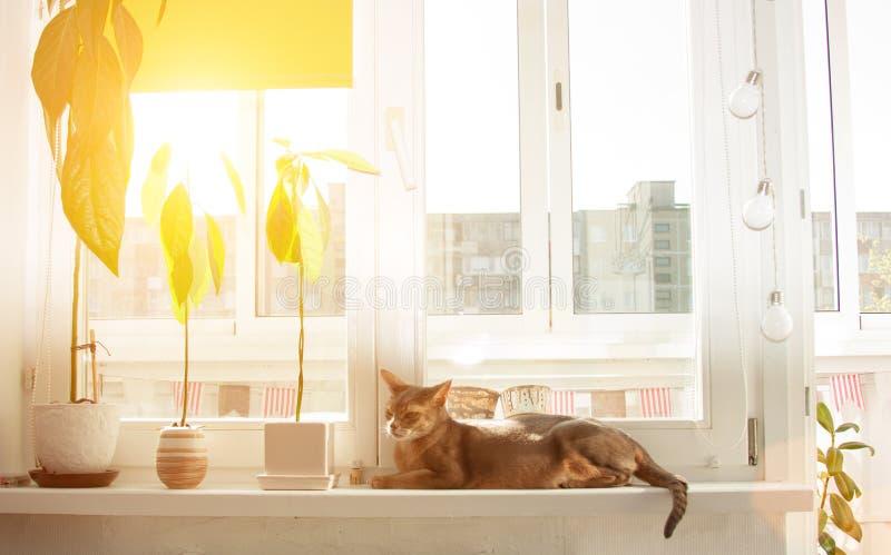 Gato abisinio en la ventana Retrato ascendente cercano del gato femenino abisinio azul, sentándose en alféizar imágenes de archivo libres de regalías