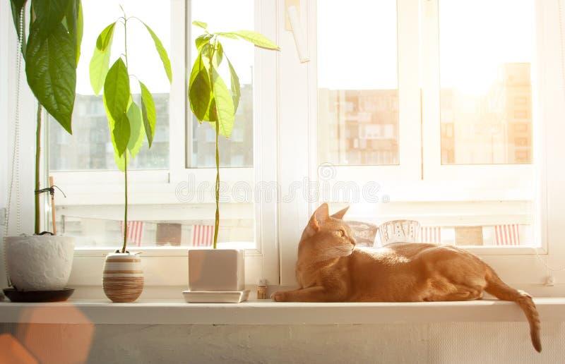 Gato abisinio en la ventana Retrato ascendente cercano del gato femenino abisinio azul, sentándose en alféizar foto de archivo