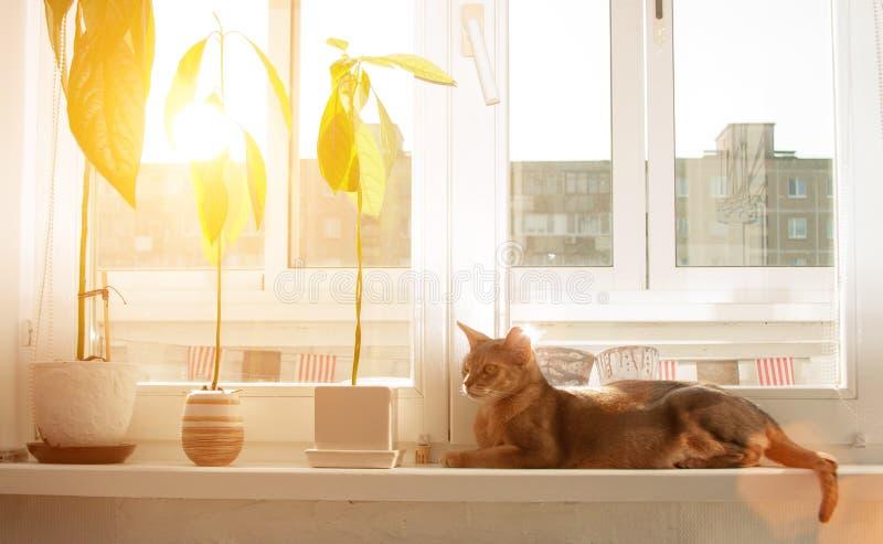Gato abisinio en la ventana Retrato ascendente cercano del gato femenino abisinio azul, sentándose en alféizar fotografía de archivo