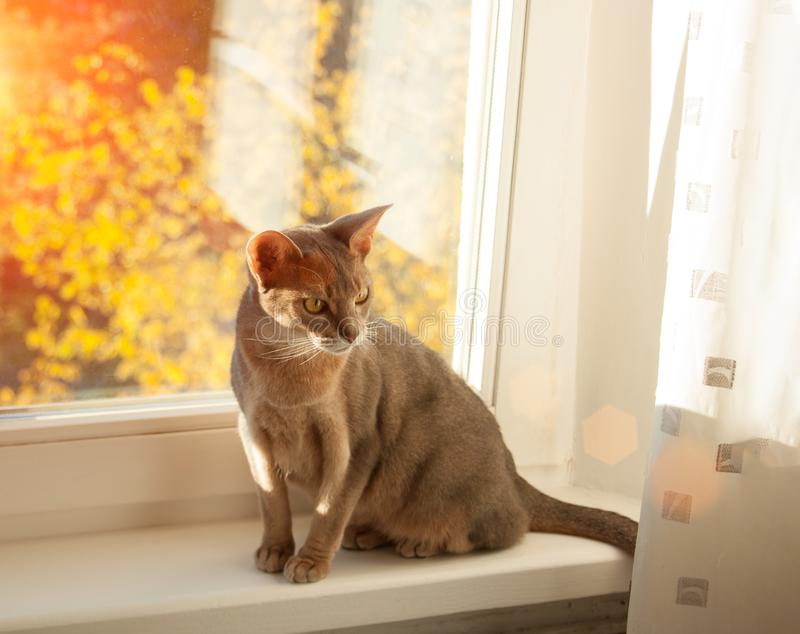 Gato abisinio en la ventana Retrato ascendente cercano del gato femenino abisinio azul, sentándose en alféizar fotografía de archivo libre de regalías