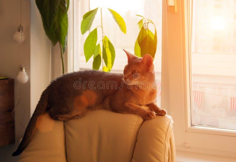 Gato abisinio en la ventana Retrato ascendente cercano del gato femenino abisinio azul, sentándose en el reposacabezas de la sill imagen de archivo libre de regalías