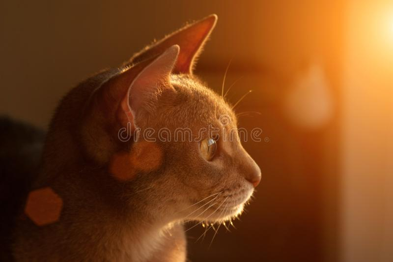 Gato abisinio en la ventana Retrato ascendente cercano del gato femenino abisinio azul, sentándose en el reposacabezas de la sill foto de archivo libre de regalías