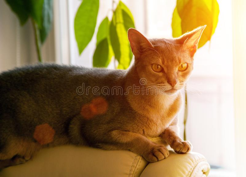 Gato abisinio en la ventana Retrato ascendente cercano del gato femenino abisinio azul, sentándose en el reposacabezas de la sill imagenes de archivo