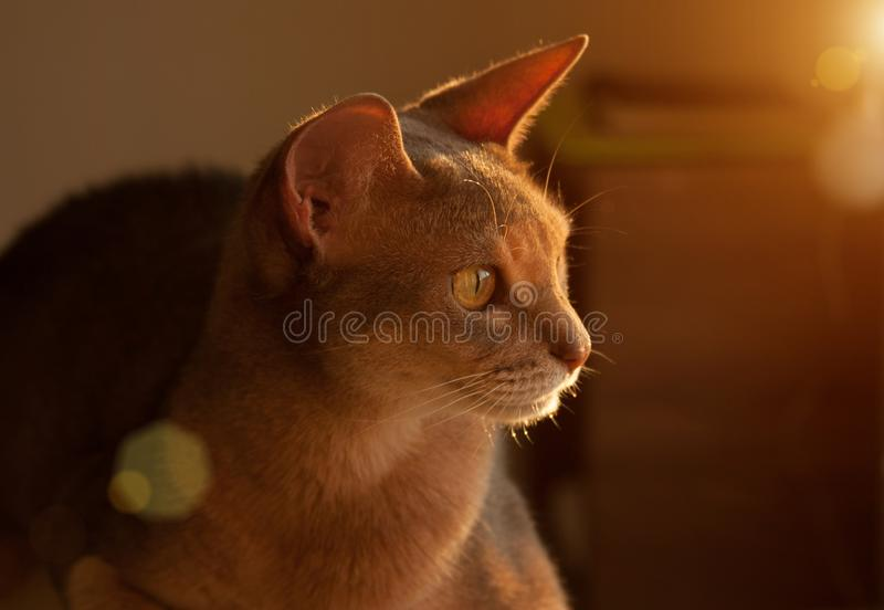 Gato abisinio en la ventana Retrato ascendente cercano del gato femenino abisinio azul, sentándose en el reposacabezas de la sill imagen de archivo