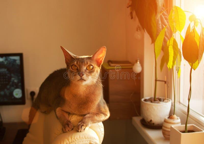 Gato abisinio en la ventana Retrato ascendente cercano del gato femenino abisinio azul, sentándose en el reposacabezas de la sill fotos de archivo