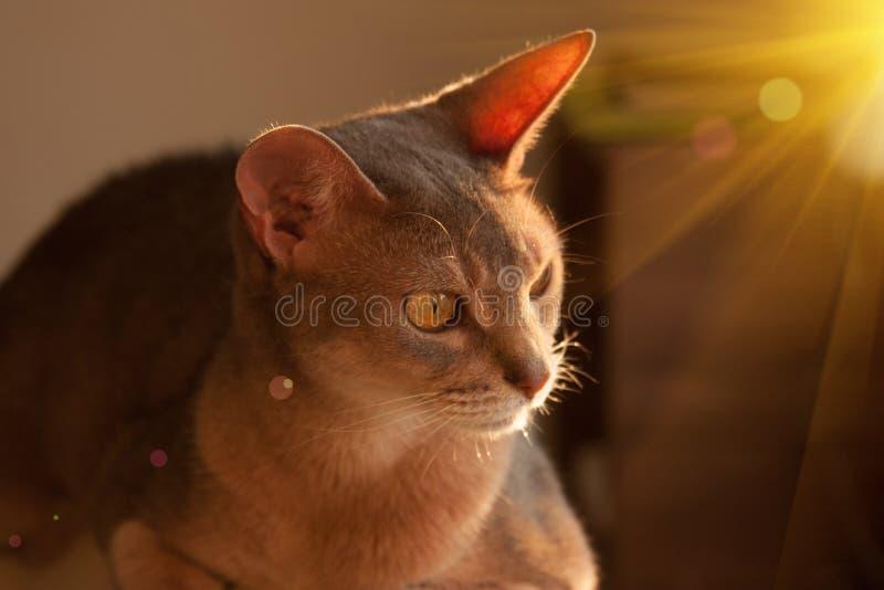Gato abisinio en la ventana Retrato ascendente cercano del gato femenino abisinio azul, sentándose en el reposacabezas de la sill foto de archivo
