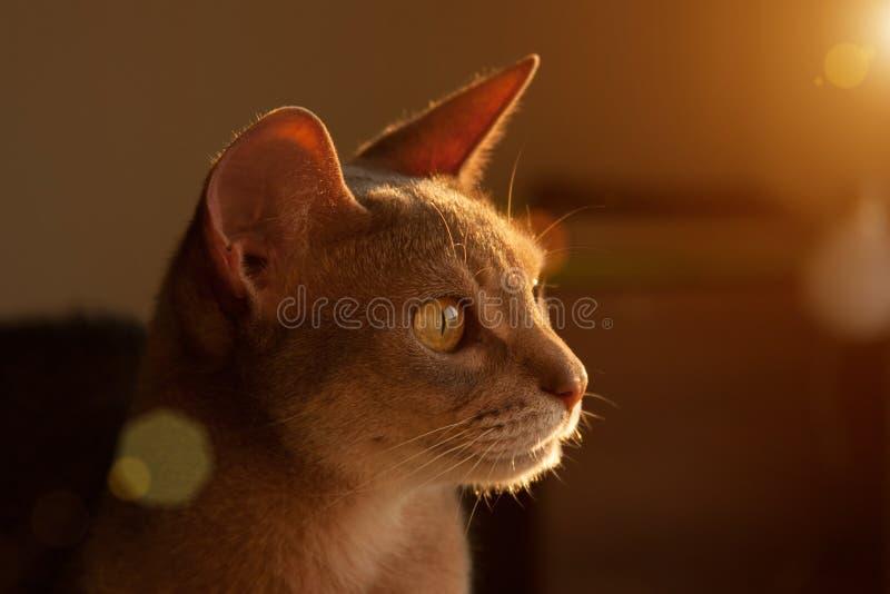Gato abisinio en la ventana Retrato ascendente cercano del gato femenino abisinio azul, sentándose en el reposacabezas de la sill fotografía de archivo libre de regalías