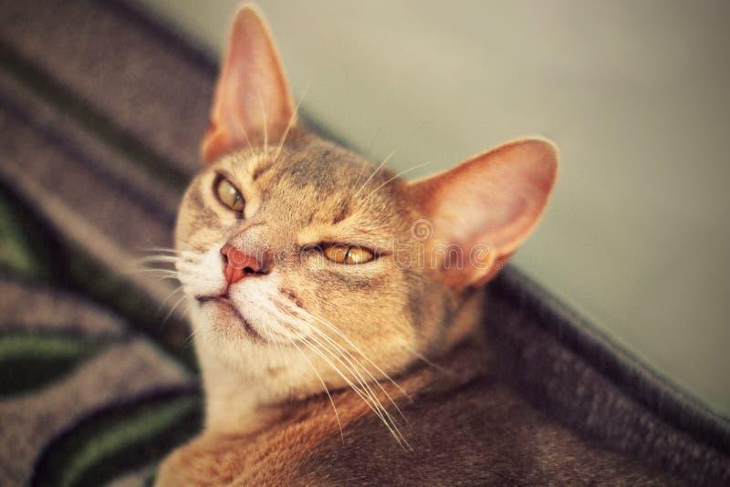 Gato abisinio en piso Retrato ascendente cercano del gato femenino abisinio azul, mintiendo en la alfombra Gato bastante lindo imagen de archivo libre de regalías
