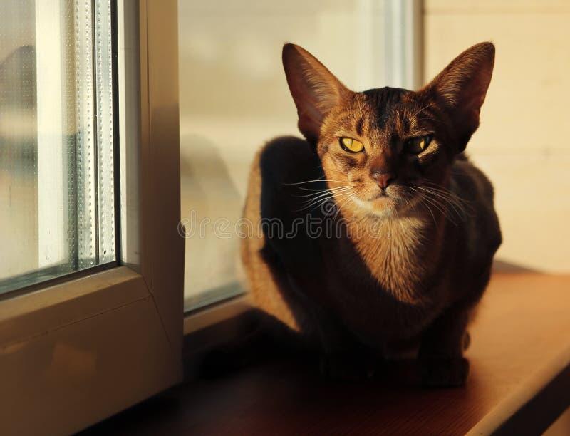 Gato abisinio que miente en alféizar fotografía de archivo libre de regalías