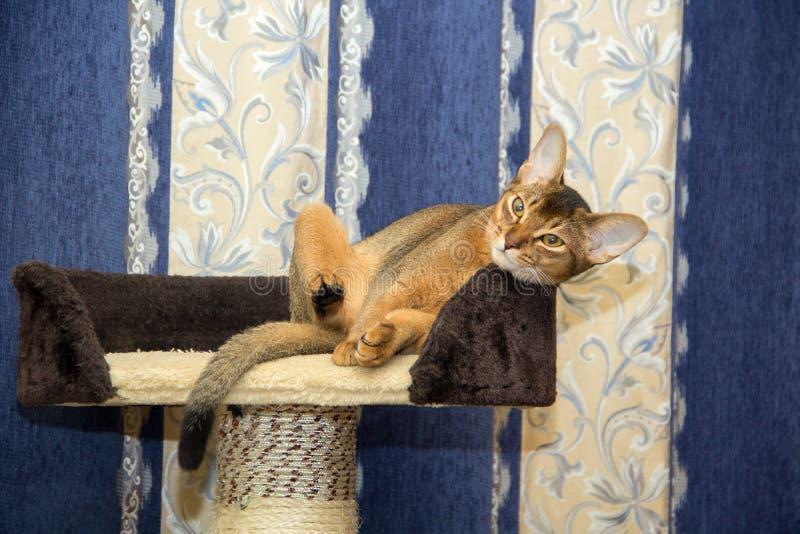 Gato abisinio que miente en una cesta en el fondo de cortinas fotografía de archivo libre de regalías