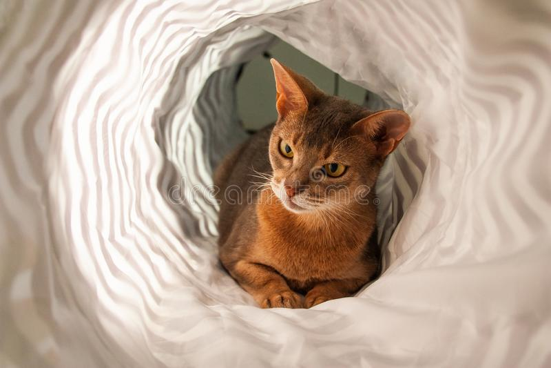 Gato abisinio Retrato ascendente cercano del gato femenino abisinio azul, sentándose en el fondo blanco fotos de archivo