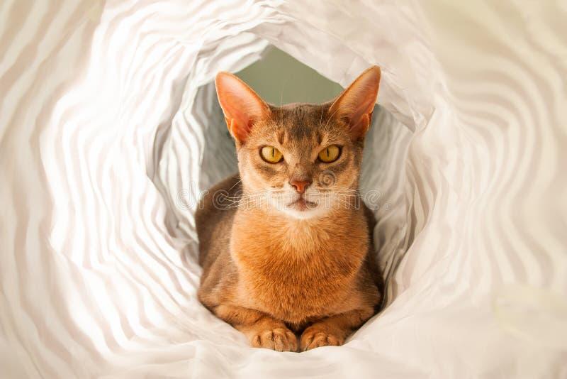 Gato abisinio Retrato ascendente cercano del gato femenino abisinio azul, sentándose en el fondo blanco fotografía de archivo