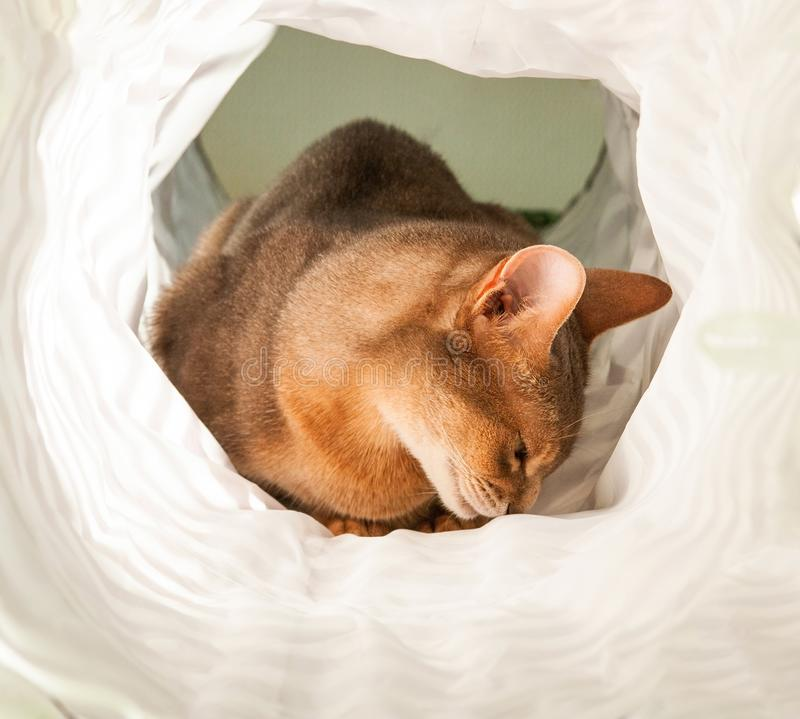 Gato abisinio Retrato ascendente cercano del gato femenino abisinio azul, sentándose en el fondo blanco imagenes de archivo