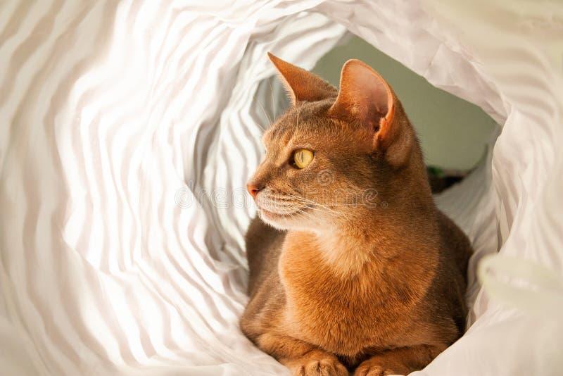 Gato abisinio Retrato ascendente cercano del gato femenino abisinio azul, sentándose en el fondo blanco imágenes de archivo libres de regalías