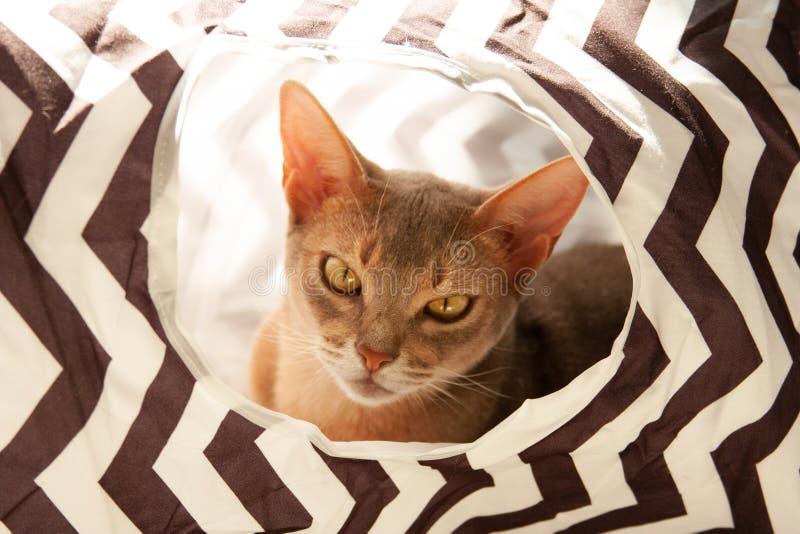 Gato abisinio Retrato ascendente cercano del gato femenino abisinio azul, sentándose en túnel rayado fotografía de archivo