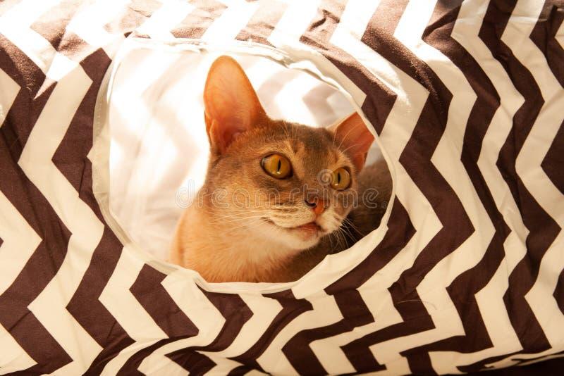 Gato abisinio Retrato ascendente cercano del gato femenino abisinio azul, sentándose en túnel rayado foto de archivo