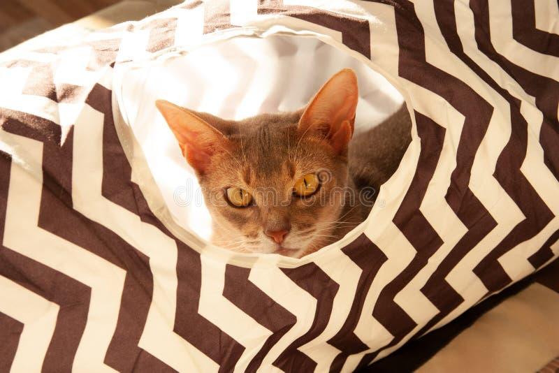 Gato abisinio Retrato ascendente cercano del gato femenino abisinio azul, sentándose en túnel rayado fotos de archivo