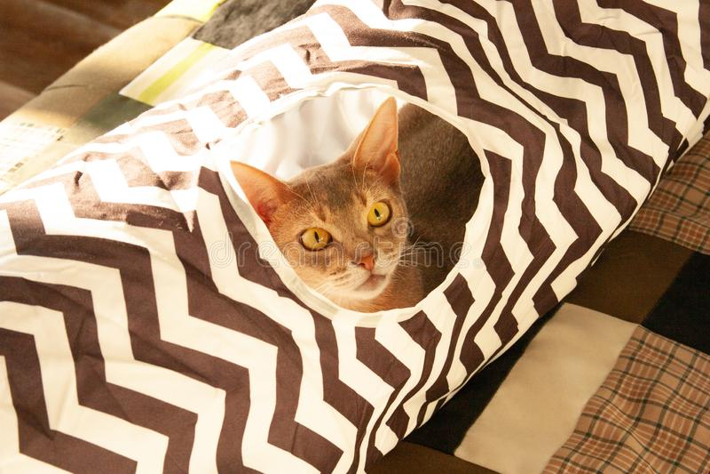 Gato abisinio Retrato ascendente cercano del gato femenino abisinio azul, sentándose en túnel rayado fotos de archivo libres de regalías