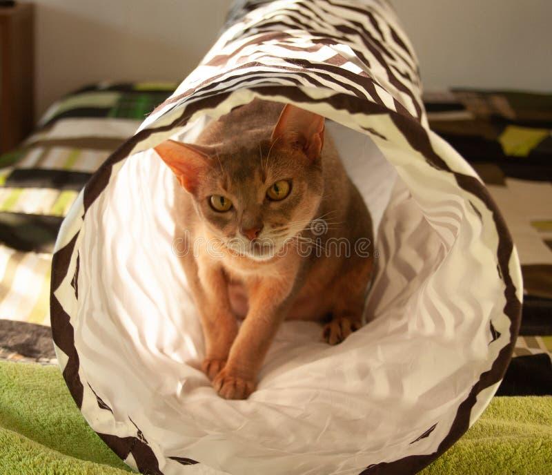 Gato abisinio Retrato ascendente cercano del gato femenino abisinio azul, sentándose en túnel rayado fotografía de archivo libre de regalías