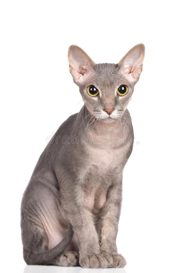 Gato adorable del sphynx que presenta en blanco imagenes de archivo