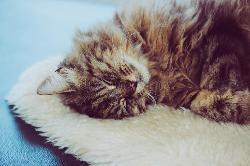 Gato adorable el dormir El gatito gris toma una siesta El gato está mintiendo en la manta mullida blanca Cuteness, concepto de la foto de archivo libre de regalías