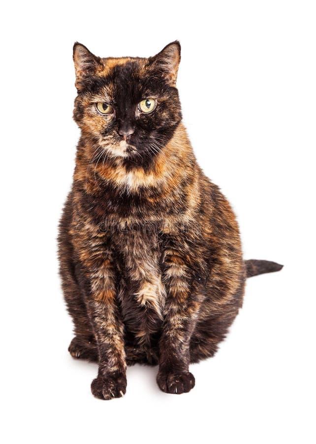 Gato adulto anaranjado y negro hermoso fotografía de archivo libre de regalías