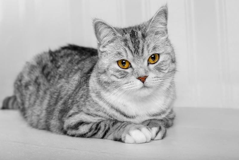 Gato adulto bonito cinzento macio, raça escocesa, retrato próximo no fundo branco com olhos bonitos Retrato do cinza escocês imagens de stock royalty free