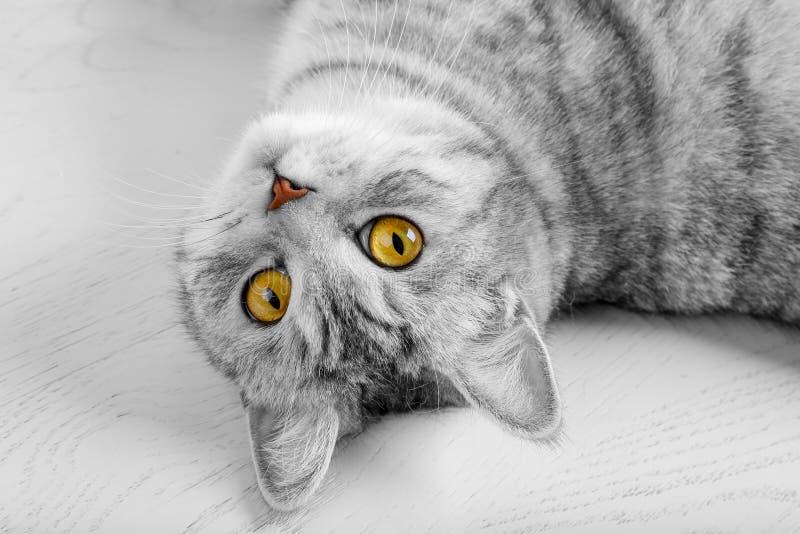 Gato adulto hermoso gris mullido, escocés de la raza, retrato cercano en el fondo blanco con los ojos hermosos Retrato del gris e fotografía de archivo