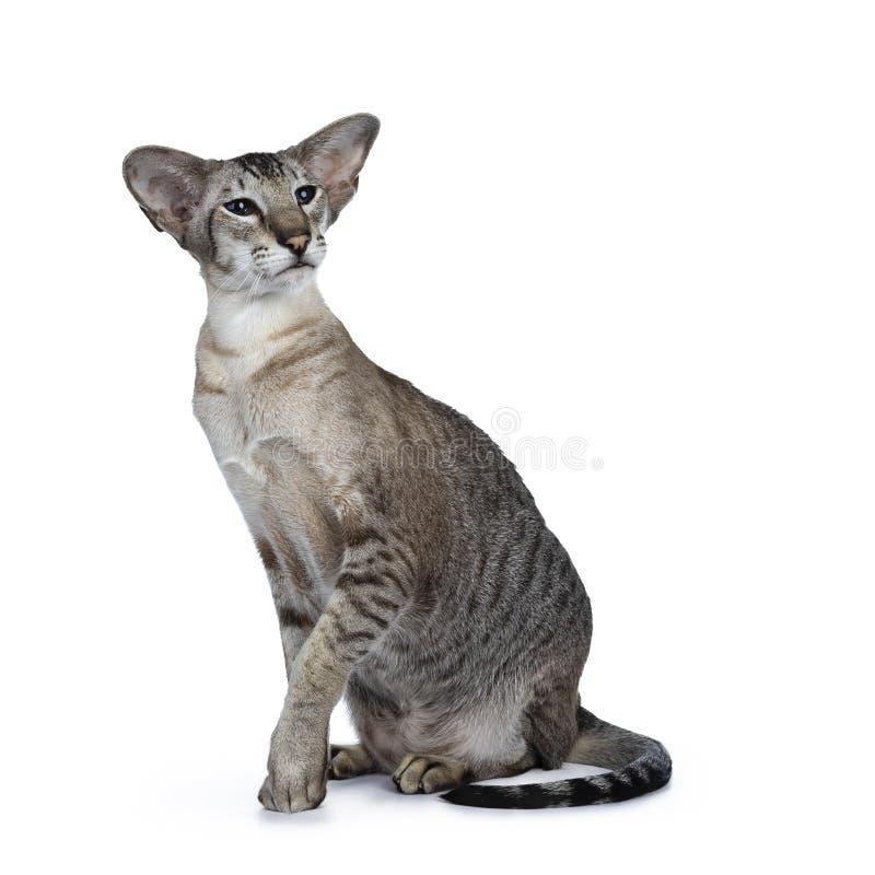 Gato adulto masculino do gato malhado siamese considerável no fundo branco foto de stock royalty free
