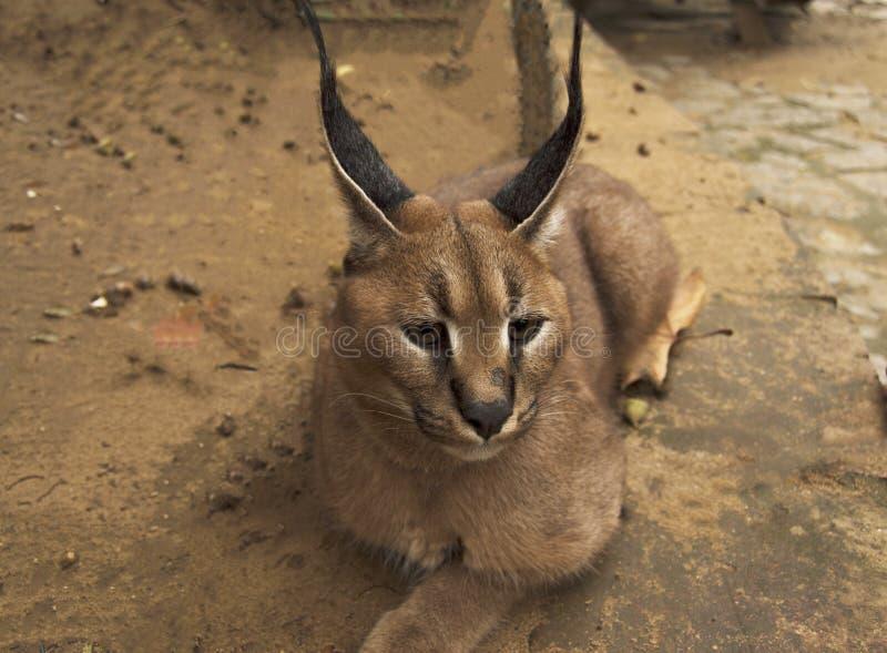 Gato africano do lince caracal imagens de stock royalty free