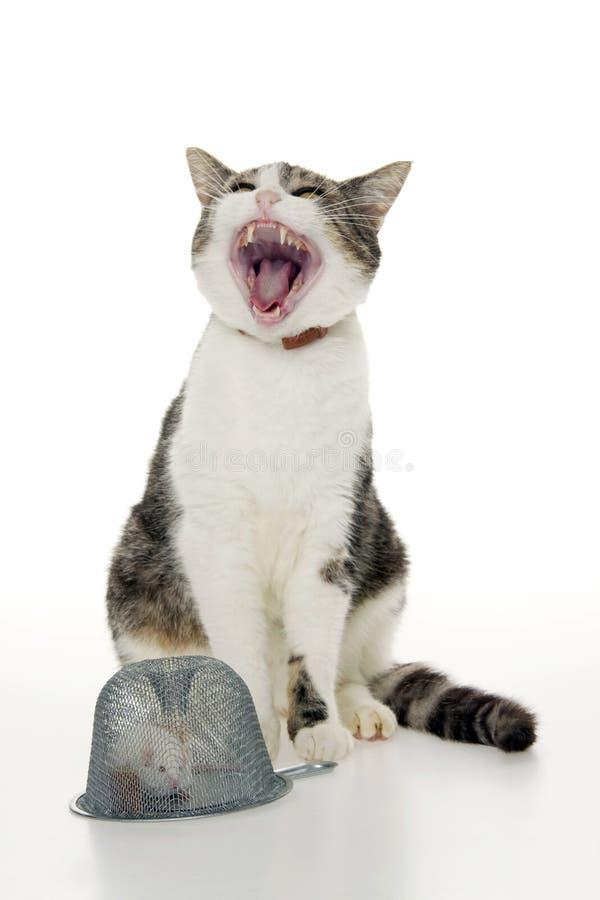 Gato agresivo con el ratón. foto de archivo libre de regalías