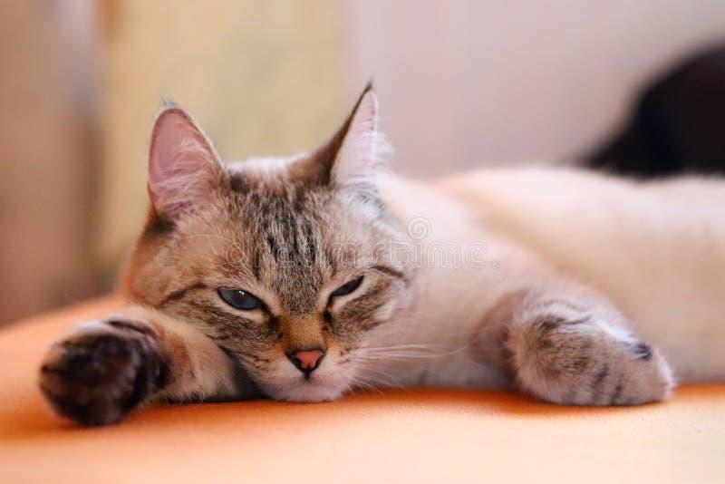 Gato agujereado que miente en la cama en casa El animal doméstico mullido primer imagenes de archivo