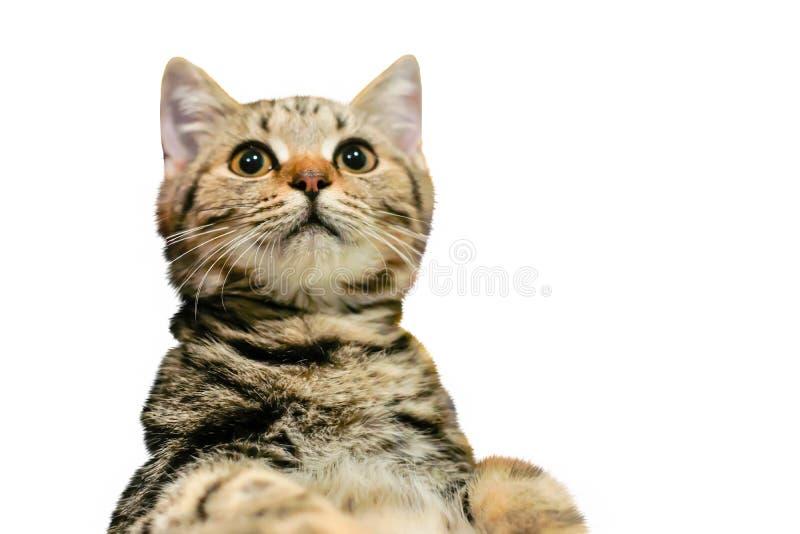 Gato aislado, gato americano del shorthair, gato del cervatillo en el fondo blanco foto de archivo